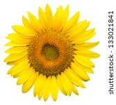 Sunflower On White Background...