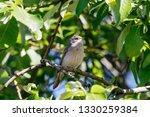 common whitethroat sitting on... | Shutterstock . vector #1330259384