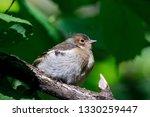 common chaffinch juvenile... | Shutterstock . vector #1330259447