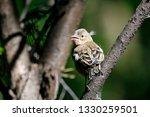 common chaffinch juvenile... | Shutterstock . vector #1330259501