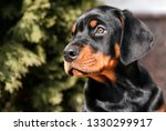 Doberman Puppy. Dog. One