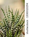 haworthia fasciata selected... | Shutterstock . vector #1330310294