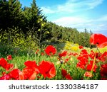 Field Of Poppy Flowers And Pine ...
