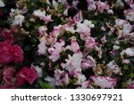 Begonia Spp.the Flower Is A...
