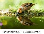 hawfinch sitting on lichen... | Shutterstock . vector #1330838954