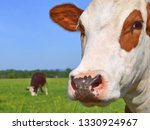 cow on a summer pasture | Shutterstock . vector #1330924967
