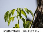 green leaf of cinnamomum... | Shutterstock . vector #1331195117