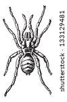 tarantula or theraphosidae ... | Shutterstock .eps vector #133129481