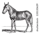 Mule or Equus mulus, vintage engraved illustration. Dictionary of Words and Things - Larive and Fleury - 1895 - stock vector