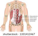 External Oblique Muscle 3d...