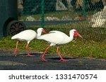 Two Great White Ibis Birds Wit...