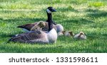 Canada geese (Branta canadensis) chick standing on back of adult goose with other chicks on the ground in southeast Michigan, USA.