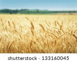 Yellow Grain Ready For Harvest...
