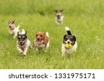 Stock photo many dogs run and play with a ball in a meadow a cute pack of jack russell terriers 1331975171