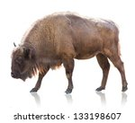 Portrait of bison isolated on...