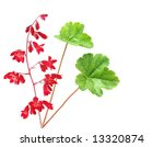 Heuchera Coral Bells Flowers...