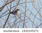common reed bunting  emberiza... | Shutterstock . vector #1332145271