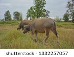 the thai buffaloes are eating... | Shutterstock . vector #1332257057