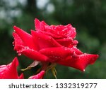 Red Roses Soaked In Rain    ...