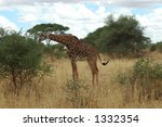 giraffe | Shutterstock . vector #1332354