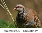 Small photo of Red- legged partridge or Chukor, Alectoris chukor, on the llokout for danger, New Zealand