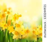 Yellow Narcissuses Against The...