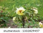 decorative garden hibiscus... | Shutterstock . vector #1332829457