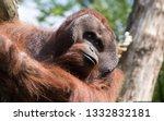beautiful portrait of ape | Shutterstock . vector #1332832181
