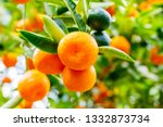 calamondine fruits  and foliage ... | Shutterstock . vector #1332873734