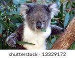 Koala In A Eucalyptus Tree ...