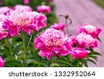 Pink Red Sunny Peony Flowers I...
