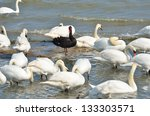 Black Swan Standing Out Amongs...