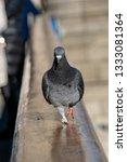 Wild Urban City Pigeon...