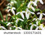 early flowering snowdrops ... | Shutterstock . vector #1333171631