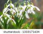early flowering snowdrops ... | Shutterstock . vector #1333171634