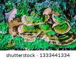 wild artist's conk  ganoderma... | Shutterstock . vector #1333441334