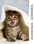 Stock photo kitten closed in towel warm sleepy small white 133346831