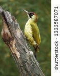 Small photo of The European green woodpecker (Picus viridis) is sitting on the tree tunk with green background