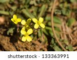 Small photo of African mustard flowering, the plant sitting on sandy soil