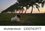 Stock photo the view beautiful sunset sky and twilight and coconut tree silhouette and dog sit on rice field 1333761977