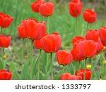 red tulips   Shutterstock . vector #1333797