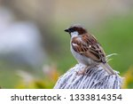sparrows are a family of small... | Shutterstock . vector #1333814354
