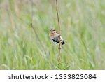 whinchat  saxicola rubetra ... | Shutterstock . vector #1333823084