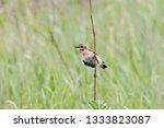 whinchat  saxicola rubetra ... | Shutterstock . vector #1333823087