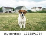 puppy jack russell played on... | Shutterstock . vector #1333891784