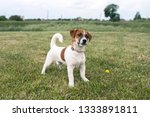 puppy jack russell played on... | Shutterstock . vector #1333891811