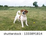 puppy jack russell played on... | Shutterstock . vector #1333891814