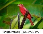 summer tanager    piranga rubra ... | Shutterstock . vector #1333938197