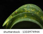 a green tree python in a zoo | Shutterstock . vector #1333974944