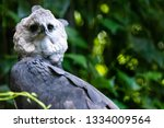 The Harpy Eagle  Harpia Harpyj...